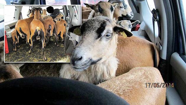 50-Jähriger transportierte zehn Schafe in Auto (Bild: APA/LPD BURGENLAND)