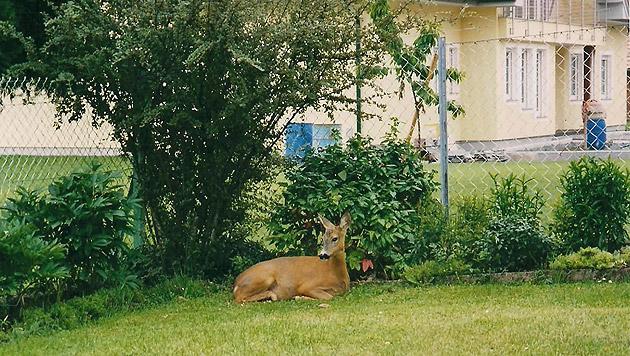 Susi fühlte sich im Garten sicher. Doch jetzt ist das Reh tot. Alfred Lebersorger ist entsetzt. (Bild: privat)