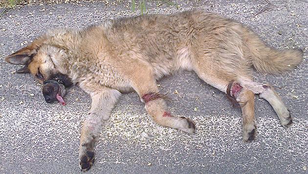 Die Schnauze mit Isolierband umwickelt, die Beine mit Draht verschnürt - so fand man diesen Streuner (Bild: Tierhilfe Hoffnung e.V.)