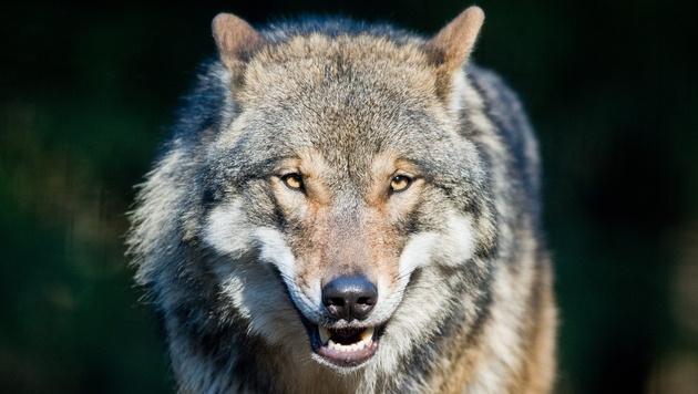 In Fotofalle getappt: Wolf streift durch Drautal (Bild: APA/EPA/PATRICK PLEUL (Symbolbild))