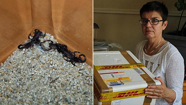 Paket mit 50 giftigen Skorpionen in NÖ abgefangen (Bild: Wiener Tierschutzhaus)