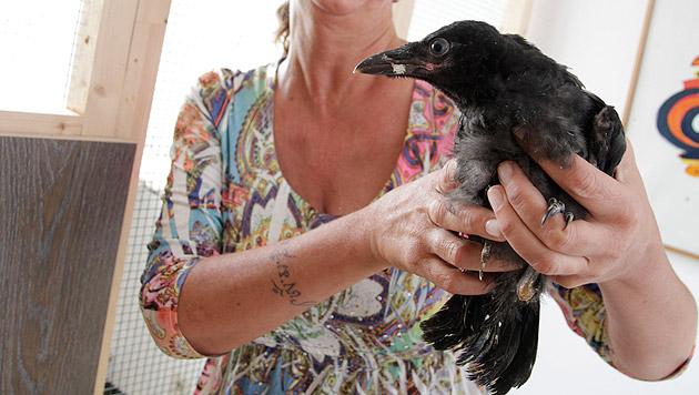 Eine Tierfreundin kümmert sich nun um den verletzten Jungraben, der Grund für die Attacke war. (Bild: Markus Schütz)