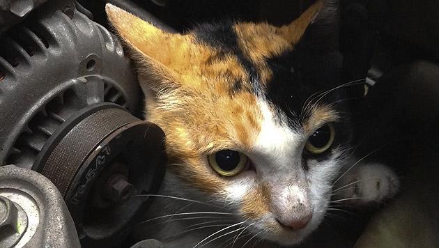 Blinde Passagiere: Katzen unter der Motorhaube (Bild: thinkstockphotos.de (Symbolbild))