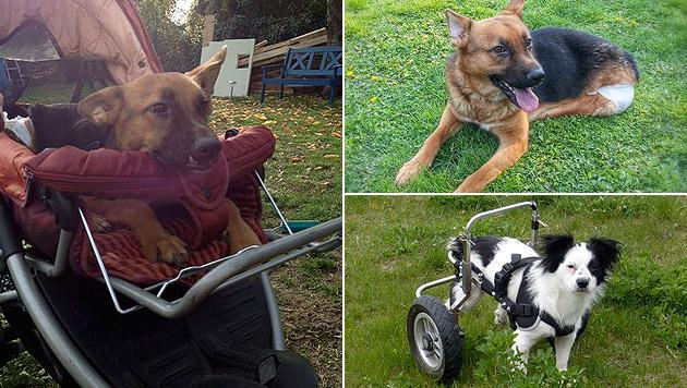 """""""Flummi"""" (l., o.r.) und """"Rusty"""" (u.r.) erfreuen sich trotz Handicap ihres Lebens. (Bild: """"Behinderter Hund - Na und?"""", Daniela Trümpy, Iris Haferle)"""