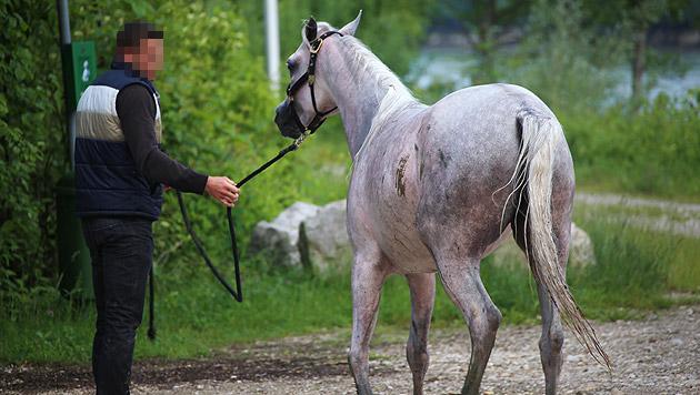 Pferd nach Sprung in Traun von Feuerwehr gerettet (Bild: Matthias Lauber)