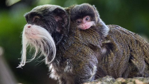 Affen-Nachwuchs im Tiergarten Schönbrunn (Bild: APA/Franz Wunsch/Tiergarten Schönbrunn)