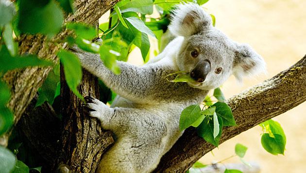 Hilfe aus aller Welt: Handschuhe für Koalas (Bild: EPA/Sebastian Kahnert)