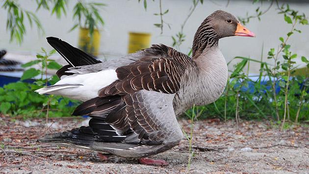 Diese verletzte Wildgans konnte gerettet werden. (Bild: APA/FF Krems/G. Rohrhofer)