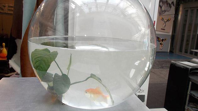 Goldfische in einem rundem Glas – seit 2005 verboten. (Bild: Maggie Entenfellner)