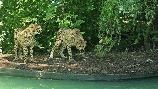 Sbg: Geparden inspizieren neu gesichertes Gehege (Bild: APA/ZOO SALZBURG)