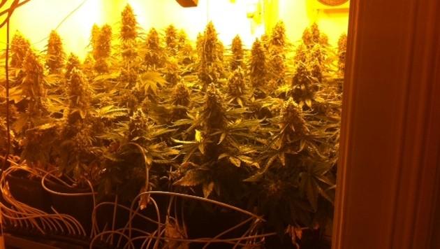 Student baute in Wohnung 64 Marihuanapflanzen an (Bild: Polizei)