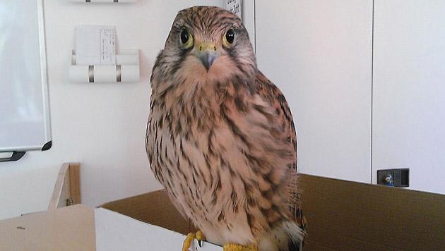 Die Falken wurden gerettet und zur Eulen- und Greifvogelstation Haringsee im Marchfeld überstellt. (Bild: APA/Wiener Tierschutzverein)