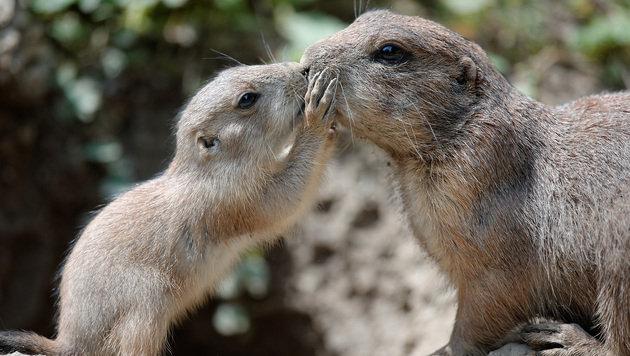 Süße Präriehunde erobern Bau im Zoo Schönbrunn (Bild: Tiergarten Schönbrunn/Norbert Potensky)