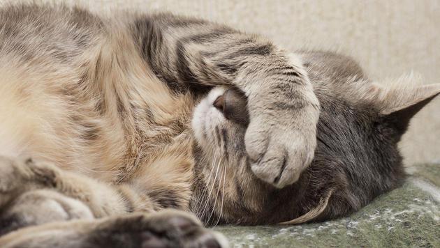 Älteste Katze der Welt mit 24 Jahren gestorben (Bild: thinkstockphotos.de (Symbolbild))