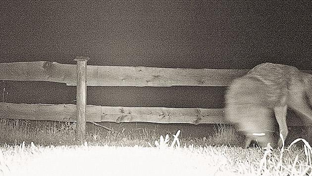 Diese Aufnahme eines Wolfes wurde vergangene Woche im Oberen Drautal gemacht. (Bild: Wildkamera)