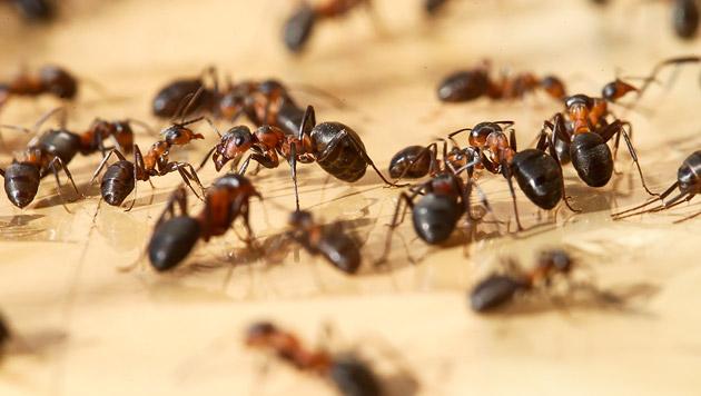 Ameisen geben Information über Speichel weiter (Bild: APA/dpa (Symbolbild))