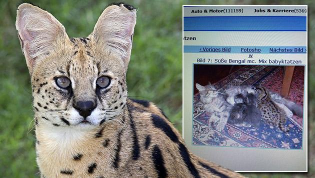 Immer mehr illegale Wildkatzen in Österreich (Bild: thinkstockphotos.de, Krone Tierecke)