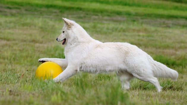 """Treibball: """"Fußball"""" für Mensch und Hund (Bild: thinkstockphotos.de)"""