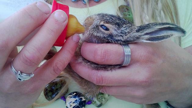 Der kleine Feldhase erholt sich im Wiener Tierschutzhaus von seinen Strapazen. (Bild: APA/Wiener Tierschutzverein)