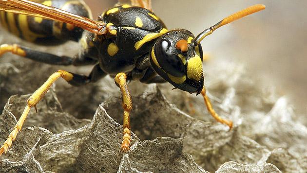 Osttirol: Bäuerin stirbt nach zwei Wespenstichen (Bild: thinkstockphotos.de)
