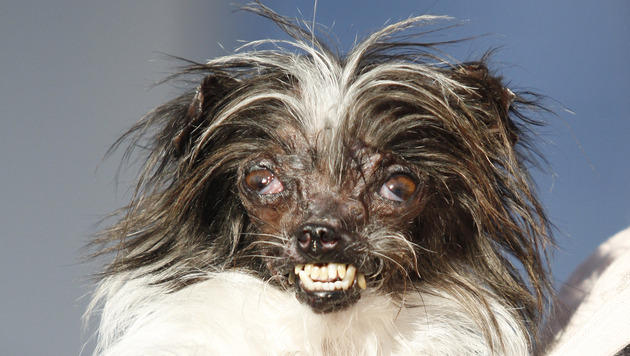 """""""Peanut"""" ist der neue hässlichste Hund der Welt (Bild: AP)"""