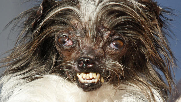 peanut ist der neue h sslichste hund der welt unr hmliche ehre viral. Black Bedroom Furniture Sets. Home Design Ideas