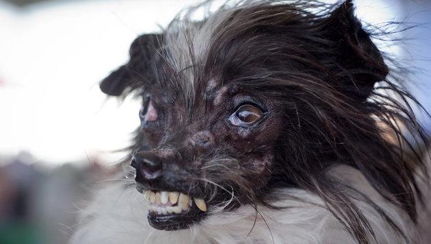 peanut ist der neue h sslichste hund der welt unr hmliche ehre steil. Black Bedroom Furniture Sets. Home Design Ideas
