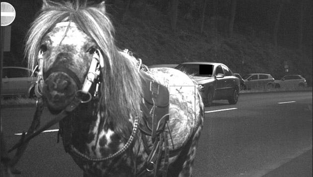Pony läuft in Radarfalle und wird geblitzt (Bild: Stadt Eppstein)