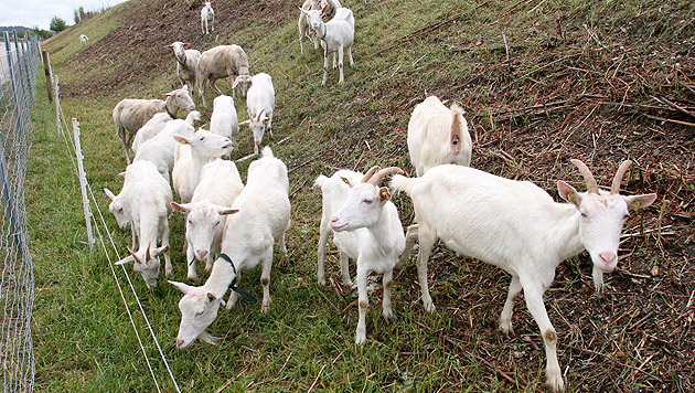 ÖBB setzen nun auf Ziegen als Unkrautvernichter (Bild: Klaus Kreuzer)