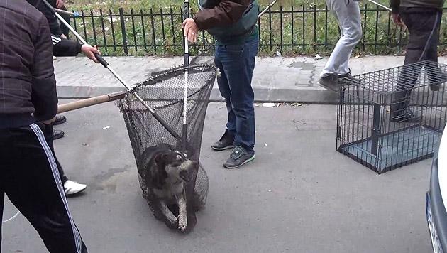 Hundefänger in Bukarest bei ihrer grausamen Arbeit. (Bild: Vier Pfoten)