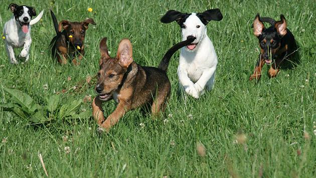 """Diese fünf Hundewelpen wurden herzlos in einer kleinen Box """"entsorgt"""" - sie suchen ein Zuhause. (Bild: Pfotenhilfe Lochen)"""