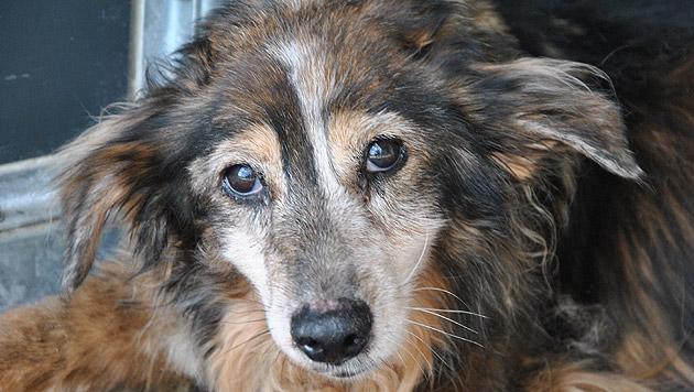 Offenbar wurde der Besitzer seines kranken Hundes überdrüssig. (Bild: Tierheim Dechanthof)