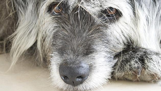 Depressionen bei Hunden erkennen und behandeln (Bild: thinkstockphotos.de)