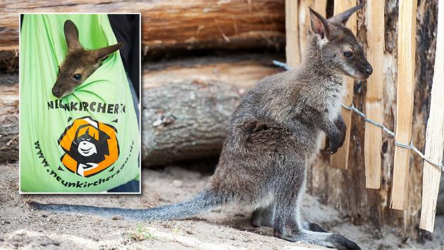 Känguru-Baby lebt nach Tod der Mama im Leinensack (Bild: APA/dpa)