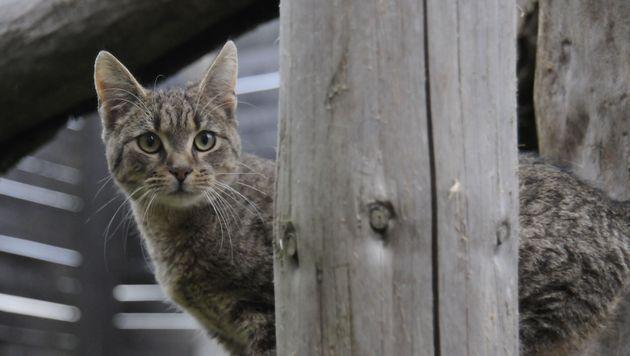Kärntnerin feuerte mit CO2-Pistole auf Katze (Bild: Pfotenhilfe (Symbolbild))