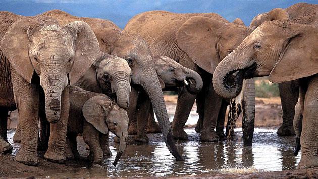 Elefanten machen wegen Wilderern Nacht zum Tag (Bild: EPA/Jon Hrusa/picturedesk.com)