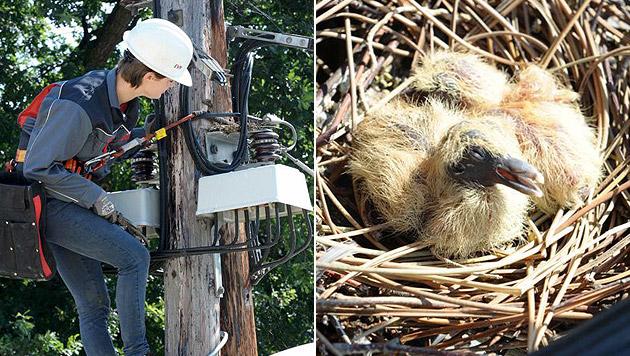 Taubennest mit Küken auf Strommast in NÖ entdeckt (Bild: APA/EVN/Gabriele Moser)