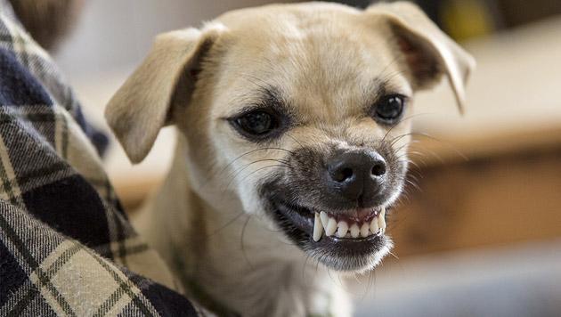 US-Studie beweist: Auch Hunde kennen Eifersucht (Bild: thinkstockphotos.de)