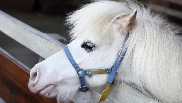 Pony im Bezirk Tulln verletzt - Polizei ermittelt (Bild: thinkstockphotos,de (Symbolbild))