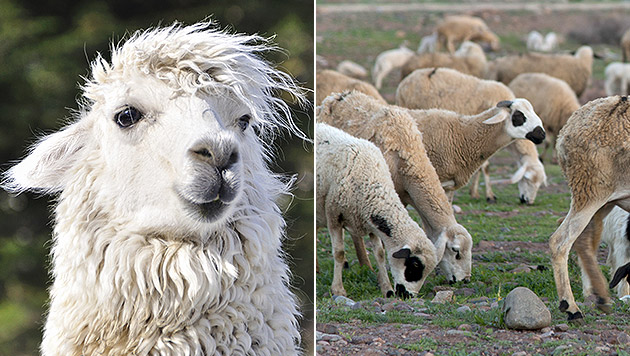 Lamas sollen in der Schweiz Schafherden bewachen (Bild: thinkstockphotos.de)