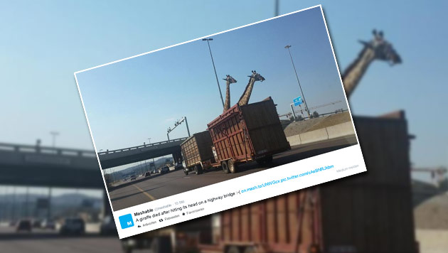 Giraffe prallt mit Kopf gegen Autobahnbrücke - tot (Bild: twitter.com/mashable)
