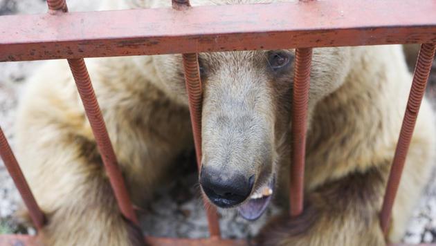 Bär ohne Unterkiefer: Zirkus muss Strafe zahlen (Bild: thinkstockphotos,de (Symbolbild))
