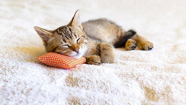Katzen verschlafen zehn von 15 Jahren (Bild: thinkstockphotos.de)