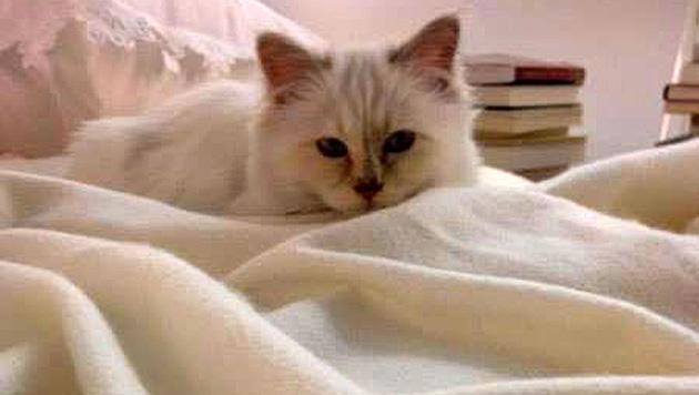 Auch Choupette weiß, wo man sich als Katze am bequemsten bettet. (Bild: facebook.com/MademoiselleChoupetteLagerfeld)