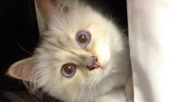 Die blauen Augen und das weiße Fell sind Choupettes Markenzeichen. (Bild: facebook.com/MademoiselleChoupetteLagerfeld)