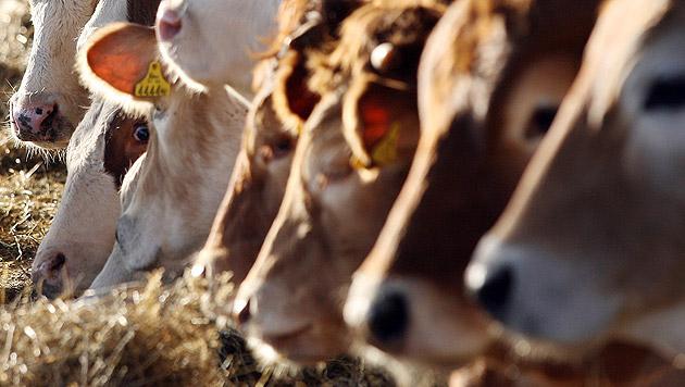 """Tierschützer: """"Zu wenig Bewusstsein für Nutztiere"""" (Bild: Jürgen Radspieler (Symbolbild))"""