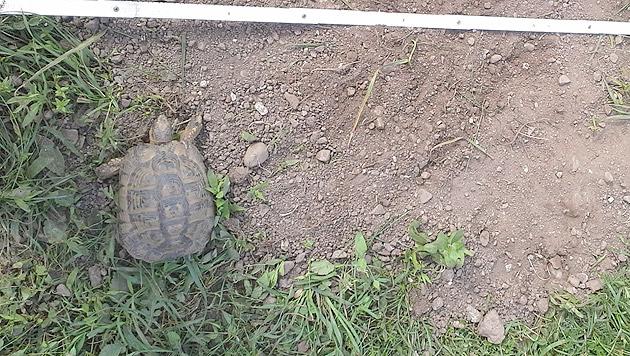 Ein Dachs hat sich die Schildkröte aus dem Garten einer Gailtalerin geholt. (Bild: privat)