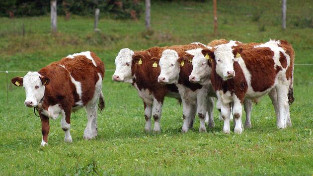 Deutsche Forscher wollen Tiergesundheit messen (Bild: Peter Tomschi (Symbolbild))