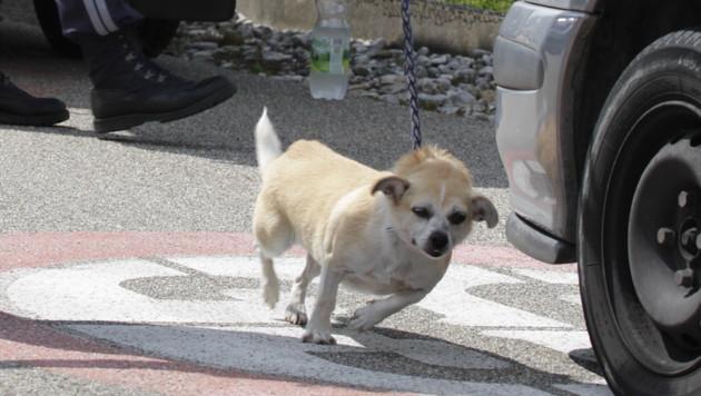 Der Hund der 84-Jährigen wurde von der Tierrettung eingefangen. (Bild: Markus Schütz)