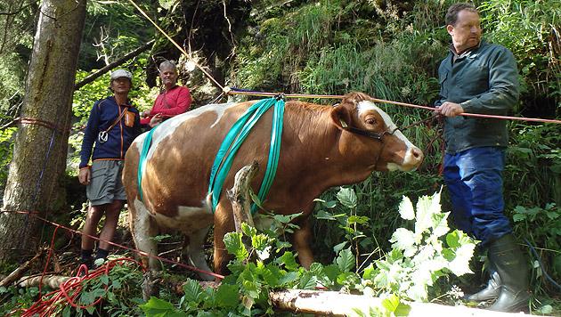 """""""Bella"""" mit den Tragegurten: Die Kuh schwebte zehn Meter an dem Seil über einen Graben. (Bild: Bergrettung Kaprun)"""